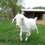 Tofo female goat