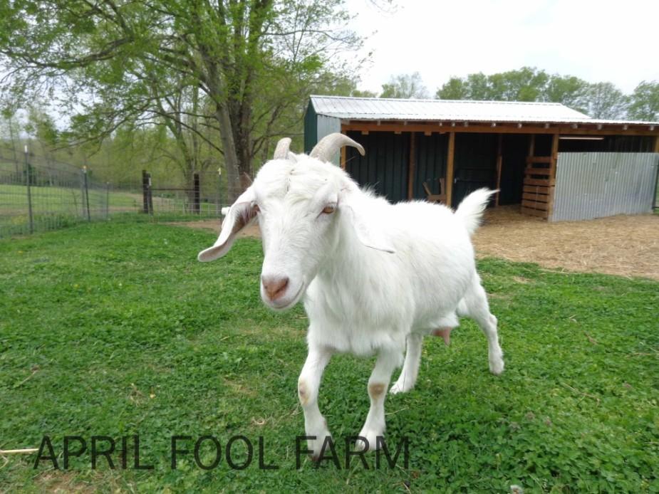 Tofo female goat
