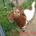 Red our female boer goat