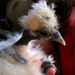 showgirl chicken 2014
